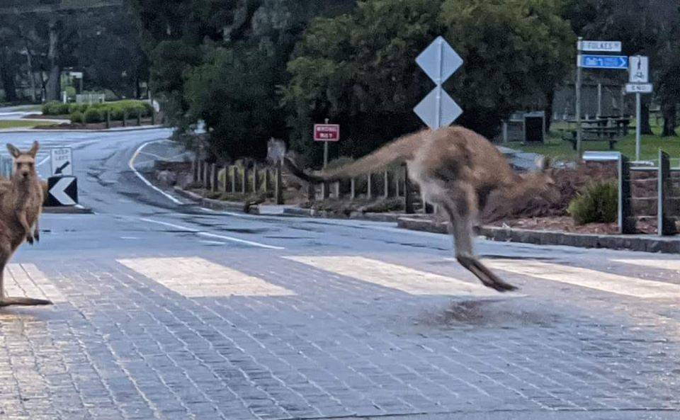 Kangaroos enjoy the lack of people in Halls Gap, crossing on the main street. Picture: TINA BAKER